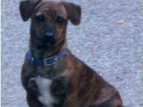 Dog Rides City Buses Solo, Stops at Shops for Ham, Biscuits