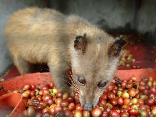 Indonesian Cat-Poo Coffee Producers Deny Mislabelling