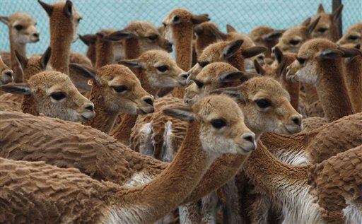 Bolivian Villagers Round Up Vicunas