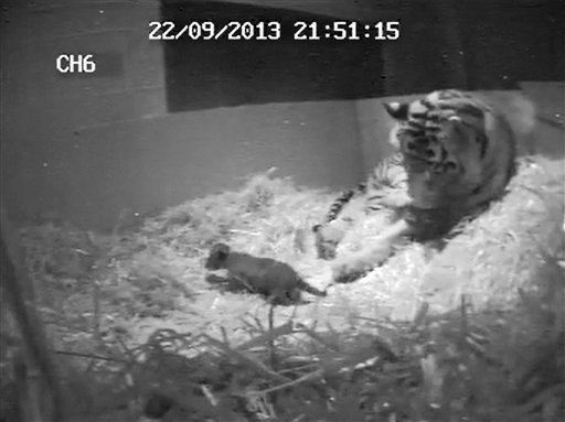 Rare Tiger Cub Drowns at London Zoo