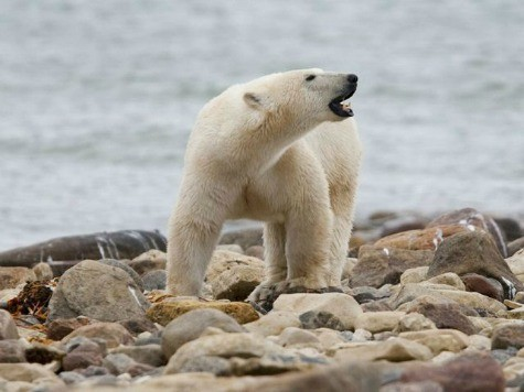U.S. Laws Protecting Polar Bears 'Based on Deeply Flawed Study'