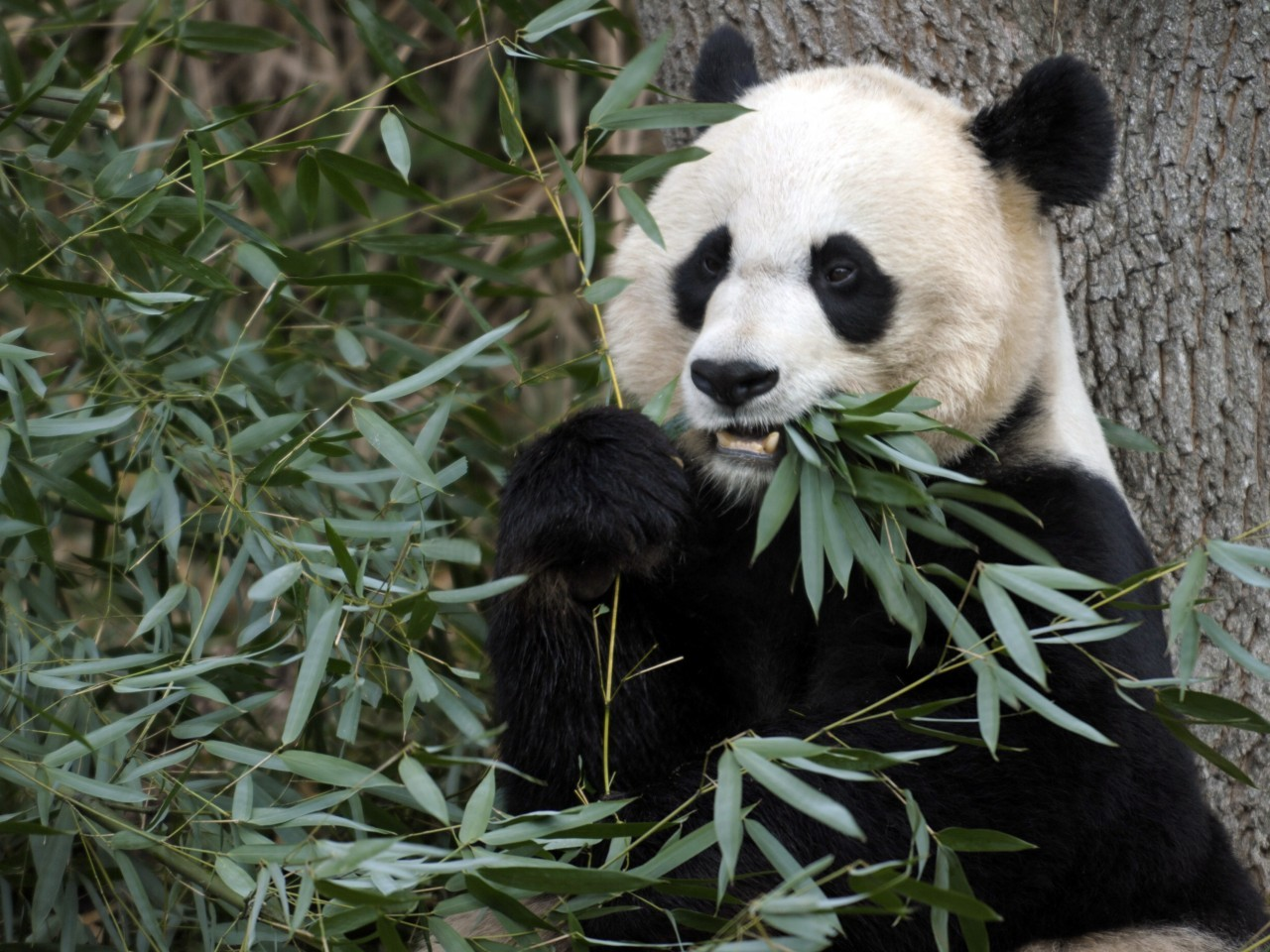 China Using Pandas to Build Trade Agreements