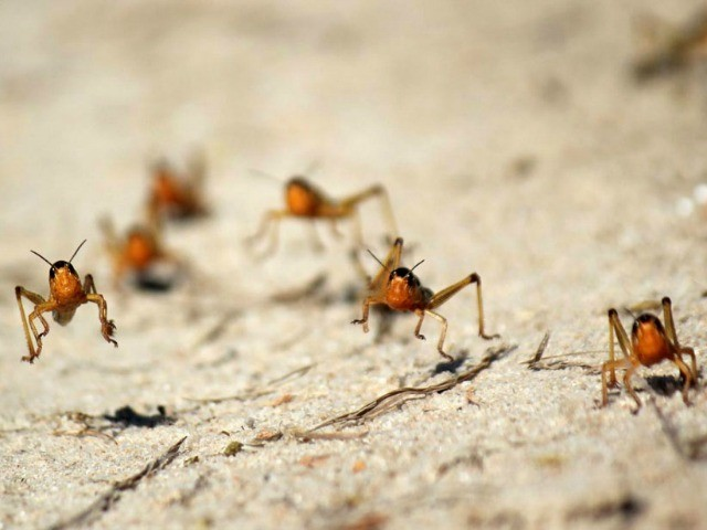 World View: Madagascar Faces a Locust Invasion of Biblical Proportions