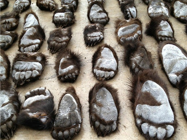 Russian Officials Seize Half Ton of Bear Claws Being Smuggled to China