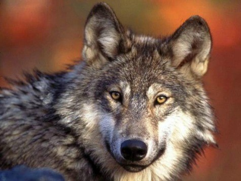 5 Wolves Escape from UK Zoo; 3 Shot Dead