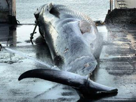 US Looks at Sanctions on Iceland for Whaling