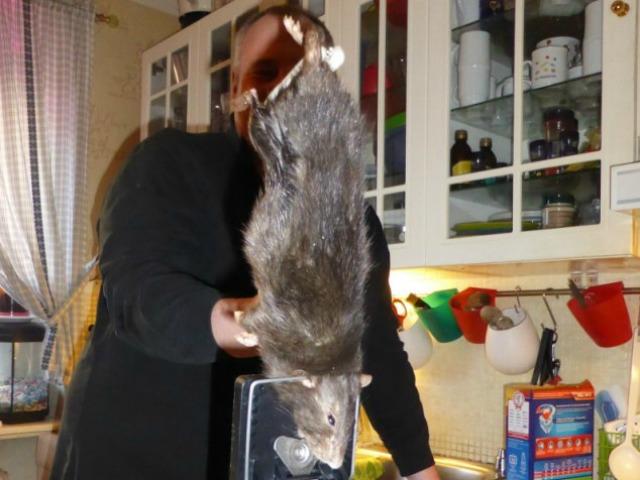 Huge Rat Terrifies Swedish Family and Their Cat