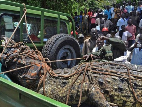 Massive, Man-Eating One-Ton Crocodile Captured in Uganda