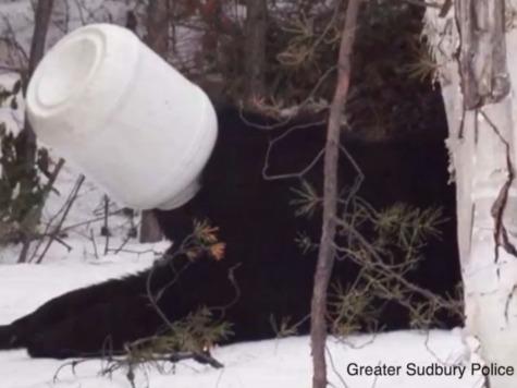 Bear Walks Down Streets with Jar Stuck on Its Head
