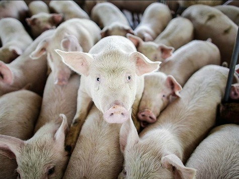 France Suspends US Pig Imports Over Diarrhea Virus