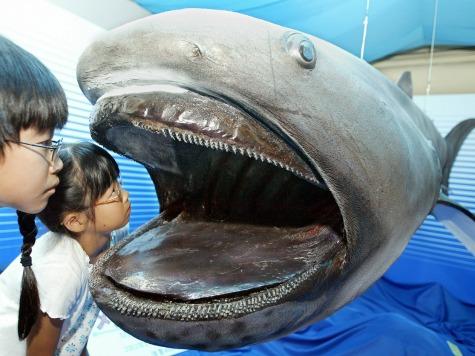 Rare Megamouth Shark Caught off Japan Coast
