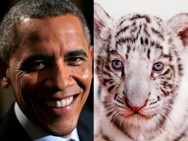 Zoo names One of Five White Tiger Cubs After Obama