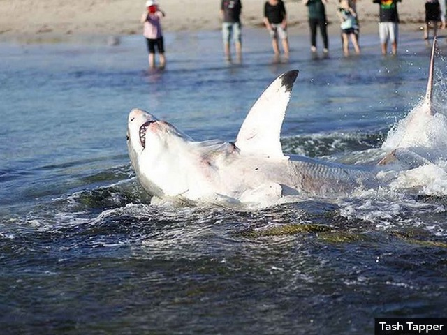 CAUGHT ON TAPE: Great White Shark Choked by Sea Lion