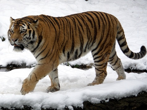 China on the Lookout for Putin's Roaming Tiger
