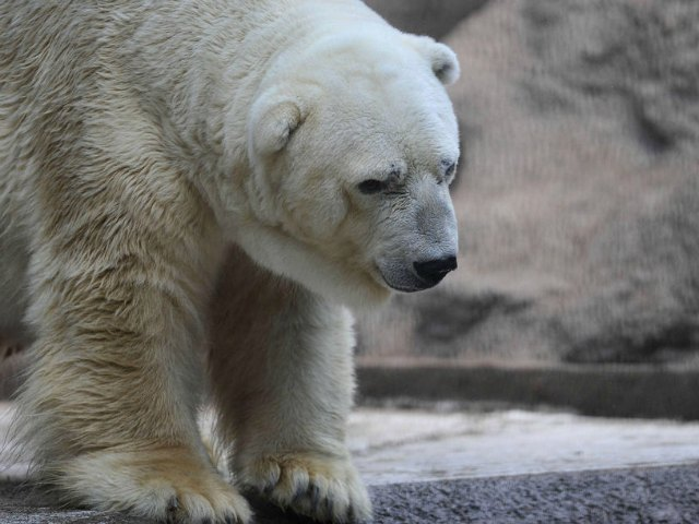 Arturo, Argentina's Depresssed Polar Bear, May Go to Canada