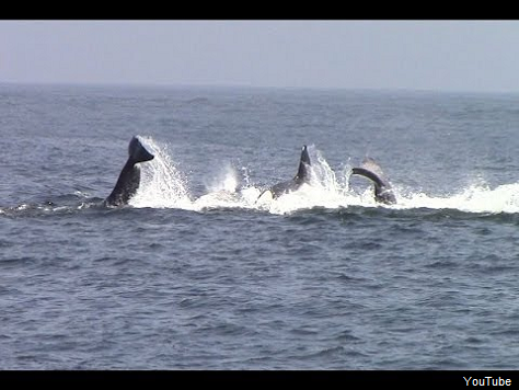 Orcas Fight Mommy Gray Whale, Drown and Devour Baby in Monterey Bay