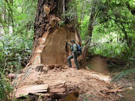 Burl Burglars Charged in California Redwood Incident