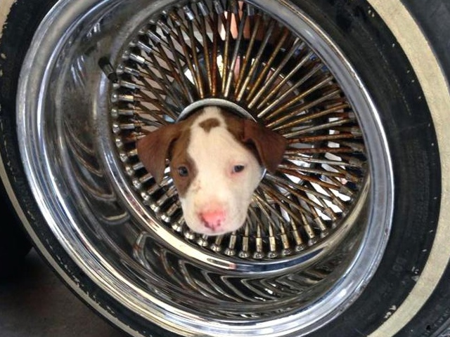 CA Firefighters Free Pit Bull From Car Wheel Using Vegetable Oil