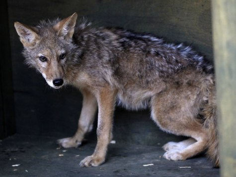 Aggressive Coyotes Roaming Burbank