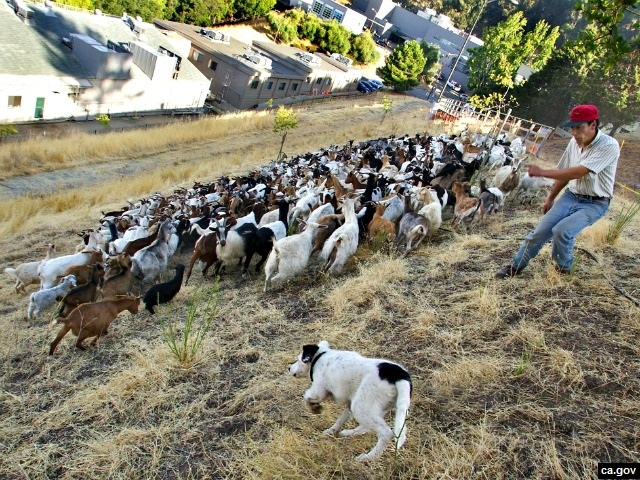 Sacramento Uses Goat Herds Instead of Lawn Mowers to Cut Grass
