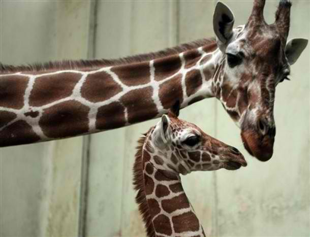 California 'Animal Lover' Receives Citation After Getting Kicked in Face by Giraffe