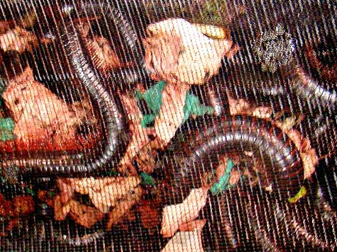 20 Foot-Long Millipedes from Germany Seized in SF Mail Facility