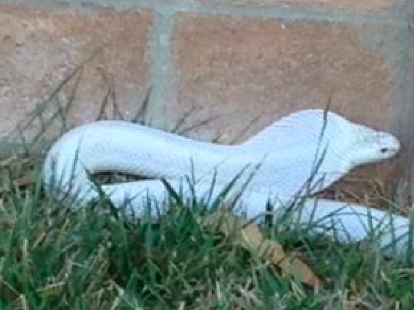 'It's Over, Folks:' Deadly Venomous Albino Cobra Caught in California