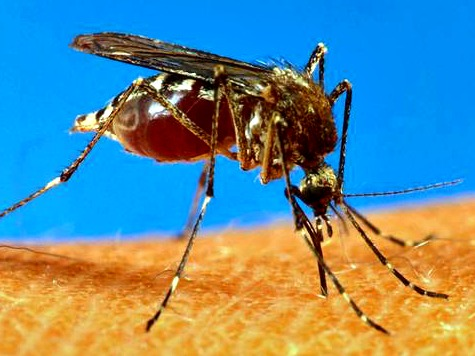 Mosquitoes Carrying Yellow Fever May Have Come From Central America