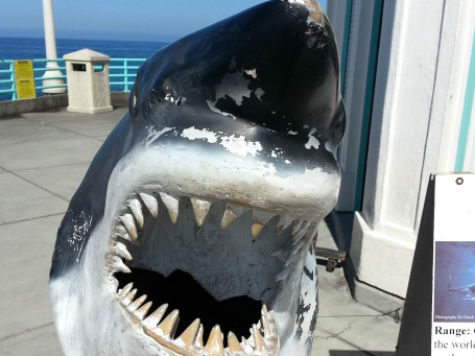 Great White Shark Attacks Surfer, Closing California Beaches
