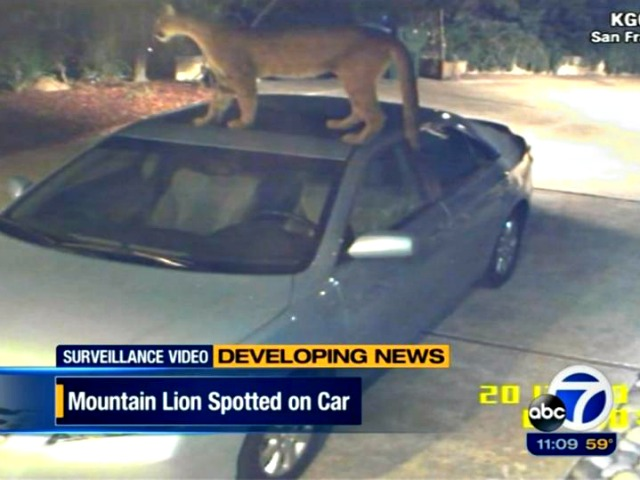 Video Captures Mountain Lion Standing on Top of Vehicle