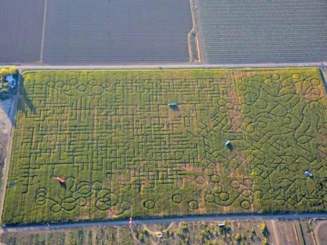 Corn Maze So Complex, People Call 911