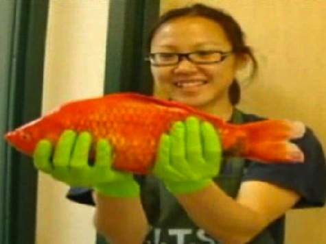 'Amnesty Pond' for Unwanted Goldfish in San Francisco