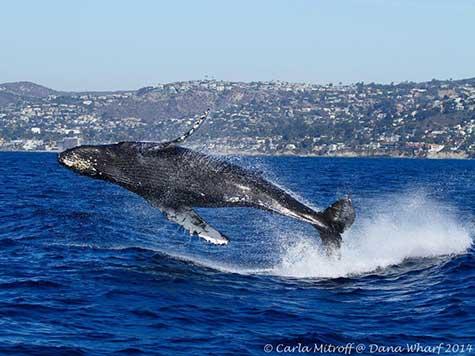 Air Time for Humpback Whale off Laguna Beach