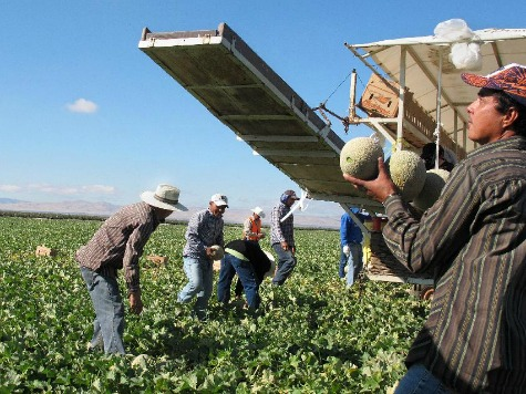 'Fruit Pickers' Left Out of Obama's Amnesty