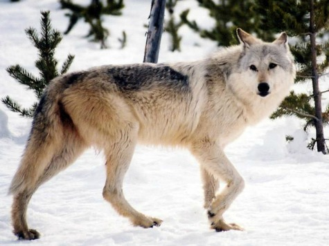 Love in the Wild: Has California's Lonesome Wolf Found a Companion in Oregon?