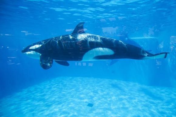 Sea World Celebrates Pregnant Orca Amidst Controversy