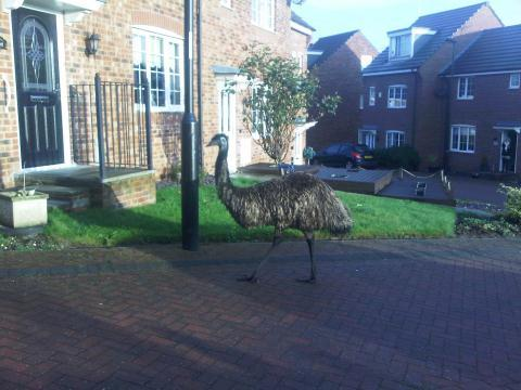Police in England Chase Escaped Emu through Town