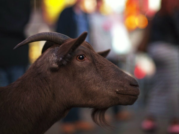 Climate Change is Shrinking Goats, Say Researchers