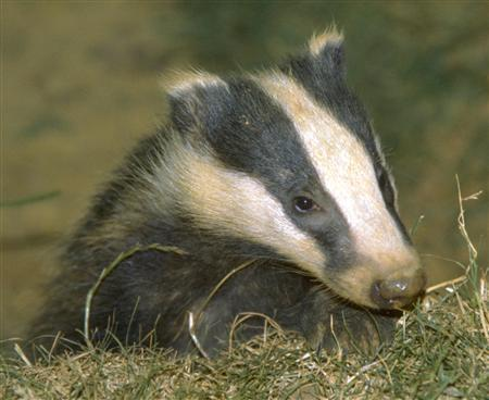 UK Badger Cull Cost Taxpayers £3,350 Per Badger