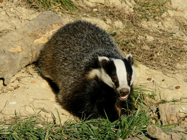 Don't Tell Queen's Brian May, But the Badger Cull Has Actually Been a Big Success
