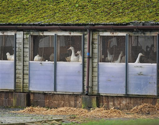 Bird Flu Hits Britain, Officials Put 'Protection Zone' Around Farm