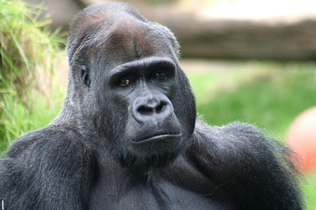 Police Deem Cilla The Gorilla a 'Potentially Racist Offensive Object'