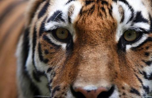 China Media Blame 'Putin's Tiger' for Goat Slaughter Spree