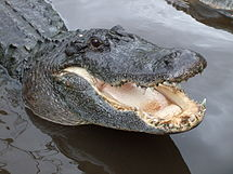 Alligator Chomps on Man While Diving for Golf Balls, Again