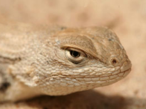 The Lizard of Oz: Texas Beats Environmentalists