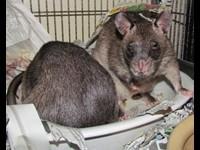 Killer Cat-Sized Rats Invade Florida
