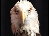 Native American Tribe Receives Permit To Kill Bald Eagles