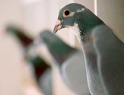 Belgian Racing Pigeons Lure Chinese Moguls