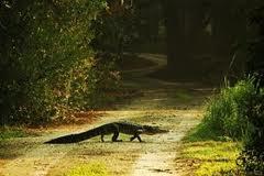 Missouri Authorities In Alligator Roundup