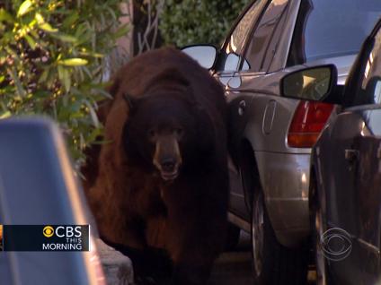 Wandering Black Bear Captured In LA
